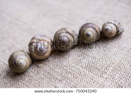 Five shells of river snail in a diagonal row