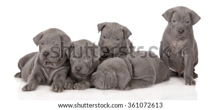 five thai ridgeback puppies on white