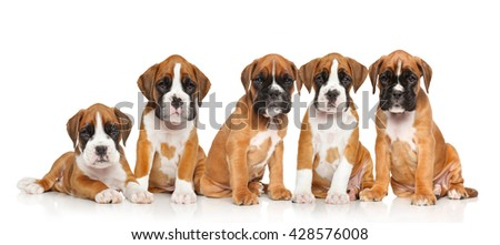Five two months old puppies of German Boxer in front of the white background - stock photo