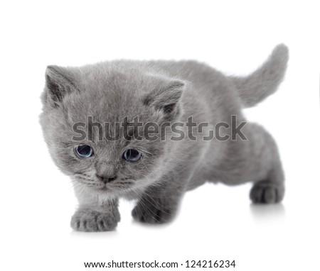 Kitten Short Short Hair Kitten Stock