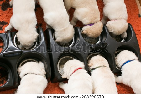 Five weeks old golden retrievers eating - stock photo