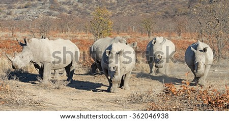 Five white rhinoceros (Ceratotherium simum) in their dry dusty environment in Ongava Game Reserve, Namibia - stock photo