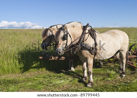 Fjord horses are harnessed to harvest hay
