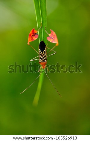 Flag Footed Bug (Anisocelis flavolineata), shot at Costa Rica