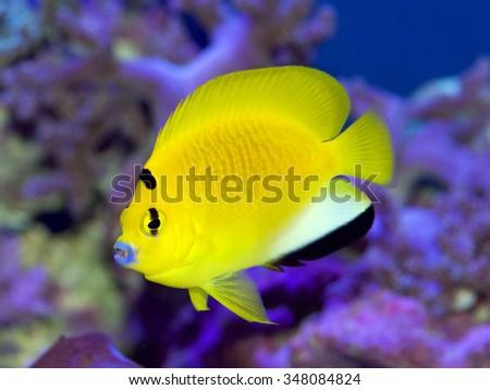 Flagfin or Black Spot Angelfish, Apolemichthys trimaculatus - stock photo