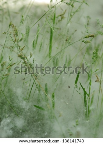 Flakes of poplar seeds on wild herbs, responsible of allergy