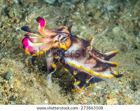 Flamboyant cuttlefish - stock photo