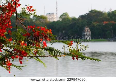 Flamboyant flower bloom near Hoan Kiem lake in Hanoi, Vietnam - stock photo