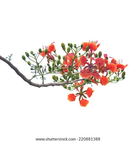 Flamboyant, Peacock Flower, Royal Poinciana, Delonix regia on white background - stock photo