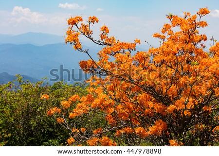 Flame Azaleas at Round Bald near Roan Mountain - stock photo