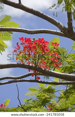 Flame Tree - Delonix regia on Rarotonga, Cook Islands, Polynesia - stock photo