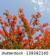 Flame Tree Flower or Peacock Flower with blue sky - stock photo