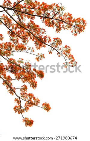 Flame tree or poinciana tree with orange peacock flowers all over it branches with very few green leaf. Isolated on white