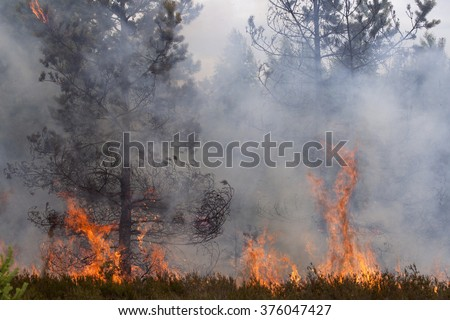 Flames and smoke of forest fire. Pine wood fire.