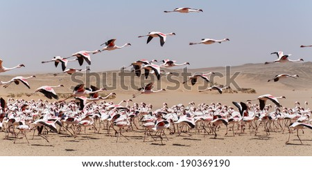 Flamingo Bird in Flight at Walvis Bay / Swakopmund, Nambia, Africa