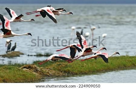 Flamingo birds in the lake Nakuru, African safari, Kenya  - stock photo