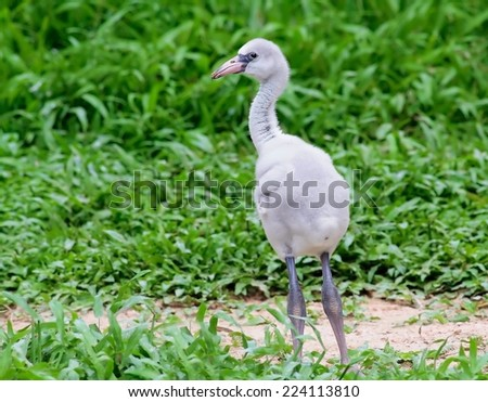 Flamingo chick in green grass - stock photo