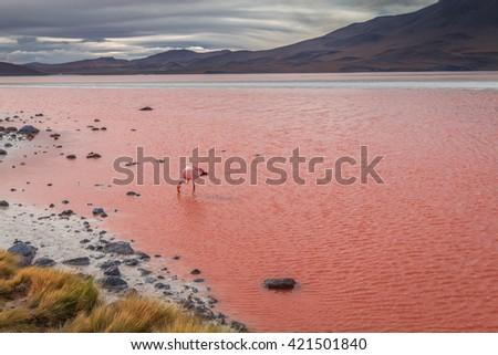 Flamingo feeding in Lago Colorado - Red Lake - stock photo