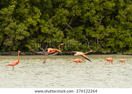 Flamingo in Celestun, Mexico - stock photo