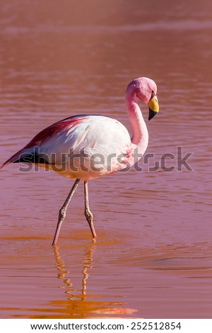 Flamingo is  in the red lagoon, Bolivia - stock photo