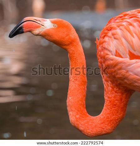 Flamingo, nice vibrant orange feathers, in its own habitat. - stock photo