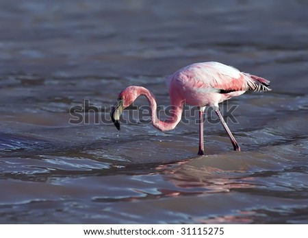Flamingo on Galapagos islands - stock photo