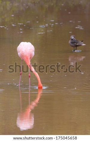 Flamingo searching for food (Isabela Island, Galapagos) in a natural muddy pond - stock photo