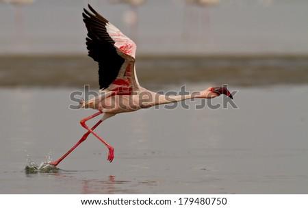 flamingo taking off - stock photo