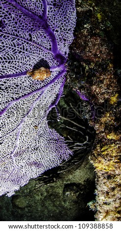Flamingo tongue cowry on a purple sea fan attached the the shipwreck the Benwood in Key Largo, Florida located inside of the John Pennekamp State Park - stock photo