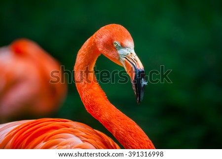 flamingo with a feather on his beak