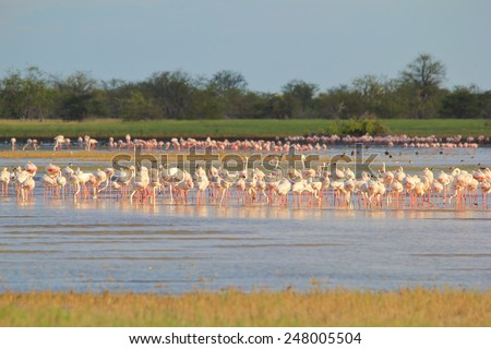 Flamingo Wonder - African Wild Bird Background - Tranquility and Peace within Colorful Nature - stock photo