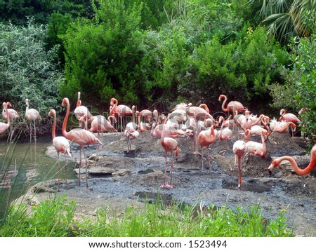 Flamingoes at the zoo