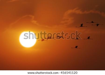 Flamingoes flying At sunrise Time - stock photo