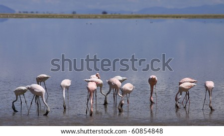 Flamingos at the edge of an African lake