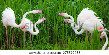 flamingos birds in fighting - stock photo