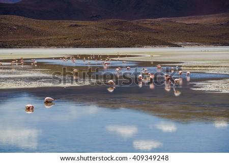 Flamingos eating in a laguna at the national park, Uyuni, Bolivia laguna at the national park Uyuni Bolivia - stock photo