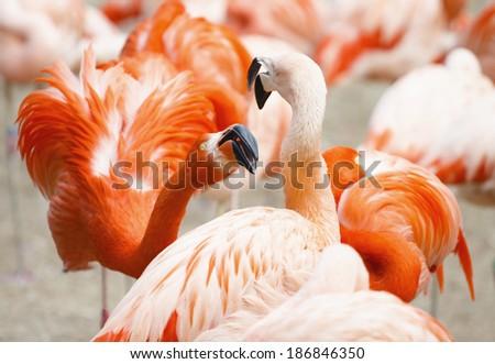 Flamingos Fight Photo  - stock photo
