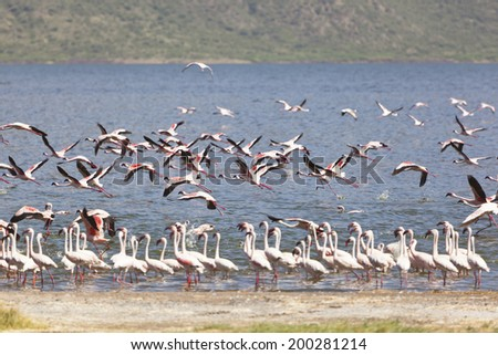 Flamingos flying at Lake Bogoria in Kenya.
