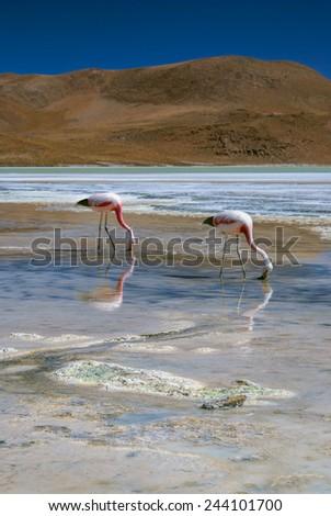 Flamingos in salty shallow lake in bolivian desert near Salar de Uyuni - stock photo