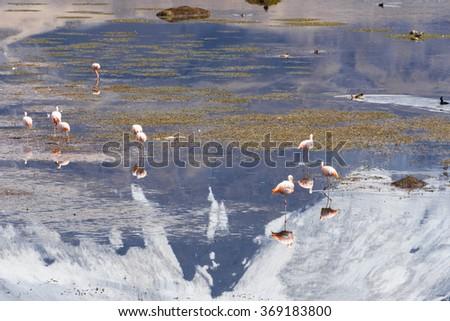 Flamingos on Chungara lake, Lauca National Park (Chile) - stock photo