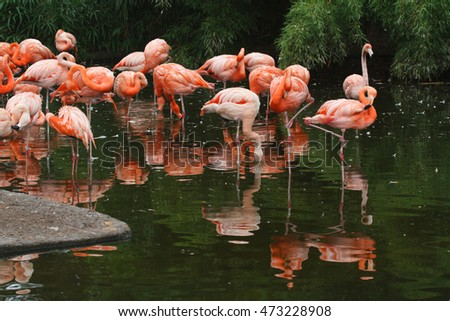 Flamingos or flamingoes are a type of wading bird in the genus Phoenicopterus. Prague Zoo. Czech Republic, August 2, 2016