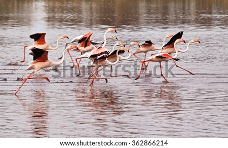 FLamingos running on water in Camargue, France. - stock photo