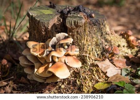 Flammulina velutipes or Enokitake grows on tree trunks - stock photo