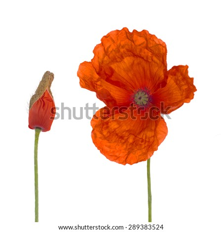 Flanders red poppy and bud isolated on white.