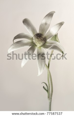Flannel Flower - stock photo