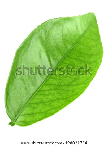 Flat a green leaf of citrus-tree. Isolated on white background. Close-up. Studio photography. - stock photo