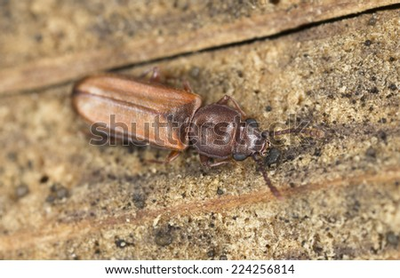 Flat bark beetle, Pediacus depressus on wood, extreme close-up with high magnification - stock photo