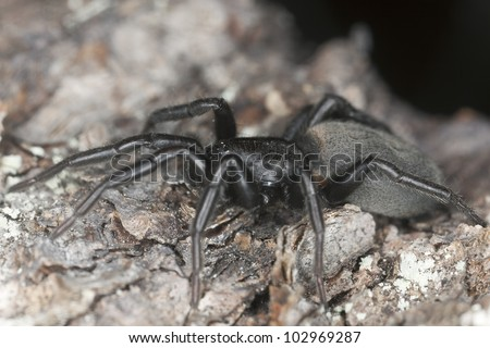 Flat-bellied ground spider (Gnaphosidae) on wood, macro photo