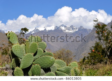 Flat Cactus with Snow Moutains in the background