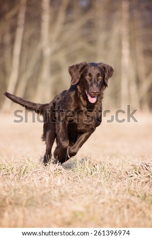 flat coated retriever dog running outdoors - stock photo